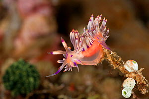 Aeolid nudibranch (Flabellina rubrolineata) right before laying its eggs. Lembeh Strait, North Sulawesi, Indonesia.  -  Jurgen Freund