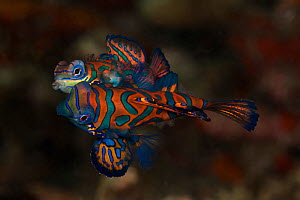Mating Mandarinfish (Synchiropus splendidus) on coral rubble. Lembeh Strait, North Sulawesi, Indonesia. - Jurgen Freund