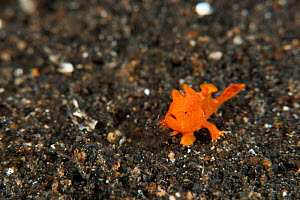 Baby orange Painted frogfish (Antennarius pictus) on the coral rubble. About 4mm in size. Lembeh Strait, North Sulawesi, Indonesia.  -  Jurgen Freund