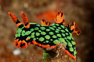 Brightly coloured Nudibranch (Nembrotha kubaryana) perched on a piece of coral. Lembeh Strait, North Sulawesi, Indonesia  -  Jurgen Freund