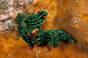 Nudibranchs (Nembrotha kubaryana) mating.  Lembeh Strait, North Sulawesi, Indonesia - Jurgen Freund