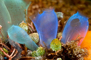 Blue club tunicates / ascidians / sea squirts (Rhopalaea crassa). Lembeh Strait, North Sulawesi, Indonesia.  -  Jurgen Freund