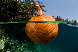 Floating fruit of a Cannonball mangrove (Xylocarpus granatum) which when opened has seeds like a natural puzzle. Lembeh Strait, North Sulawesi, Indonesia, September 2009  -  Jurgen Freund
