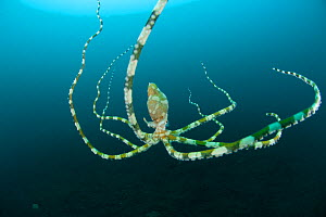 RF- Wunderpus (Wonderpus photogenicus) swimming. Lembeh Strait, North Sulawesi, Indonesia. (This image may be licensed either as rights managed or royalty free.)  -  Jurgen Freund