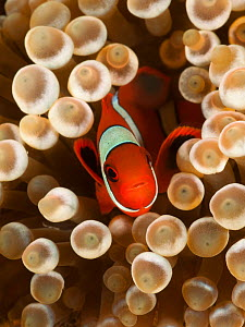 True clownfish / Clown anemonefish (Amphiprion percula) hiding among the tentacles of a sea anemone. Lembeh Strait, North Sulawesi, Indonesia  -  Jurgen Freund
