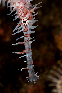 Ornate ghost pipefish (Solenostomus paradoxus), close-up of the head. Lembeh Strait, North Sulawesi, Indonesia. - Jurgen Freund