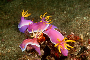 RF- Group of Nudibranchs (Hypselodoris / Chromodoris Bullocki) mating and laying eggs. Lembeh Strait, North Sulawesi, Indonesia. (This image may be licensed either as rights managed or royalty free.)  -  Jurgen Freund