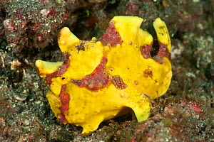 Yellow Painted frogfish (Antennarius pictus) on the sand. Lembeh Strait, North Sulawesi, Indonesia.  -  Jurgen Freund