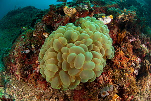 Bubble coral (Plerogyra sinuosa) on the reef. Lembeh Strait, North Sulawesi, Indonesia. - Jurgen Freund