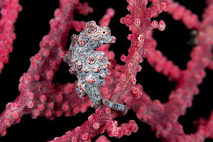 Pygmy seahorse (Hippocampus bargibanti) camouflaged in a fancoral. Misool, Raja Ampat, West Papua, Indonesia - Jurgen Freund