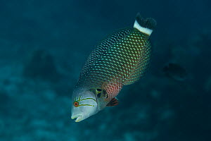 Rockmover wrasse (Novaculichthys taeniourus) examining the sea bed. These wrasses turn over rocks to find food. Misool, Raja Ampat, West Papua, Indonesia.  -  Jurgen Freund