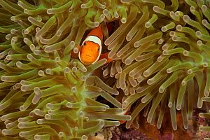 True clownfish / Clown anemonefish (Amphiprion percula) tending their eggs, half-concealed in the tentacles of their host anemone. Misool, Raja Ampat, West Papua, Indonesia.  -  Jurgen Freund
