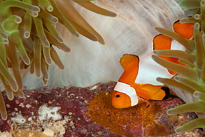 True clownfish / Clown anemonefish (Amphiprion percula) tending its eggs. Misool, Raja Ampat, West Papua, Indonesia - Jurgen Freund