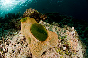 Green urn sea squirt / tunicate (Didemnum molle). Misool, Raja Ampat, West Papua, Indonesia.  -  Jurgen Freund