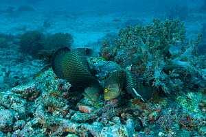 Rockmover wrasses (Novaculichthys taeniourus) moving rocks to search for food underneath. Misool, Raja Ampat, West Papua, Indonesia.  -  Jurgen Freund