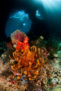 Diver navigating a swim-through at dive site called Boo with corals and feather star in the foreground. Misool, Raja Ampat, West Papua, Indonesia.  -  Jurgen Freund