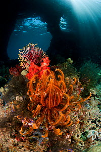 RF- Swim-through at dive site called Boo with corals and feather star. Misool, Raja Ampat, West Papua, Indonesia. (This image may be licensed either as rights managed or royalty free.)  -  Jurgen Freund