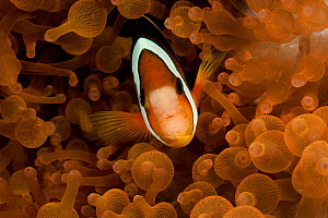 Clark's anemonefish / Yellowtail clownfish (Amphiprion clarkii) prreing out from anemone tentacles. Misool, Raja Ampat, West Papua, Indonesia. - Jurgen Freund