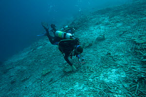 Reef rehabilitation. Divers attach wire mesh to this dynamited area so new coral spawn have a substrate to attach onto and grow from. Misool, Raja Ampat, West Papua, Indonesia, January 2010. - Jurgen Freund