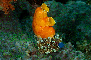 Golden sea squirt / tunicate (Polycarpa aurata) with many smaller tunicates at its base. Misool, Raja Ampat, West Papua, Indonesia. - Jurgen Freund