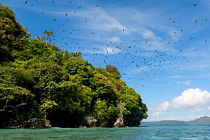 Fruit bats (Megachiroptera) flying out from the island where they roost during the day. Raja Ampat, West Papua, Indonesia, February 2010  -  Jurgen Freund