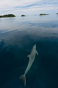 Indo-Pacific bottlenose dolphin (Tursiops aduncus) just below sea surface in flat calm  water. Raja Ampat, West Papua, Indonesia, February 2010  -  Juergen Freund