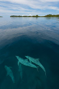 Pod of Indo-Pacific bottlenose dolphins (Tursiops aduncus) just below sea surface in flat calm waters. Raja Ampat, West Papua, Indonesia, February 2010  -  Juergen Freund
