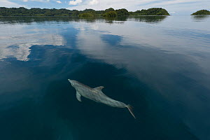 Indo-Pacific bottlenose dolphin (Tursiops aduncus) just below surface in flat calm water. Raja Ampat, West Papua, Indonesia, February 2010  -  Jurgen Freund