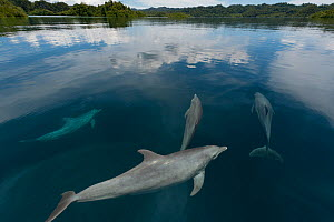 Indo-Pacific bottlenose dolphins (Tursiops aduncus) just below surface in flat calm  waters. Raja Ampat, West Papua, Indonesia, February 2010.  -  Juergen Freund