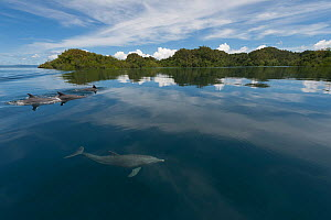 Indo-Pacific bottlenose dolphins (Tursiops aduncus) at surface in flat calm waters. Raja Ampat, West Papua, Indonesia, February 2010  -  Jurgen Freund