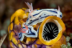 Nudibranchs (Chromodoris lochi) crawling on a sea squirt. North Raja Ampat, West Papua, Indonesia.  -  Jurgen Freund