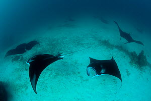 A parade of giant manta rays (Manta birostris) at a cleaning station. North Raja Ampat, West Papua, Indonesia, - Jurgen Freund