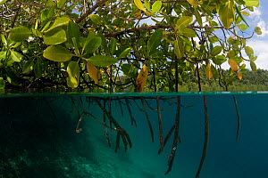 RF- Mangroves with branches extended down into water, split level. North Raja Ampat, West Papua, Indonesia, February . (This image may be licensed either as rights managed or royalty free.) - Jurgen Freund