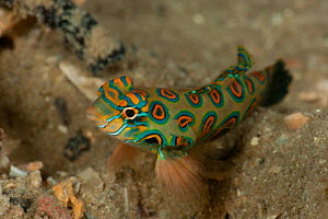 Mandarinfish / Picturesque dragonet (Synchiropus picturatus) resting on its fins. North Raja Ampat, West Papua, Indonesia. - Jurgen Freund