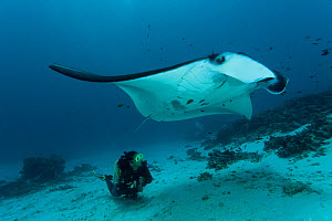 Giant manta ray (Manta birostris) at a cleaning station with diver swimming behind it. North Raja Ampat, West Papua, Indonesia.  -  Jurgen Freund