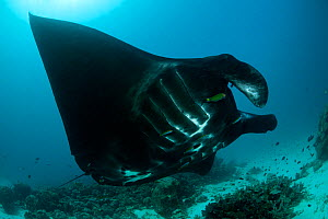 Giant manta ray (Manta birostris) at a cleaning station. North Raja Ampat, West Papua, Indonesia. - Jurgen Freund