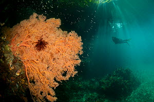 A massive Fan coral (Gorgonacea) in the shallows with the foliage of the trees visible through the water above. North Raja Ampat, West Papua, Indonesia, February.  -  Jurgen Freund