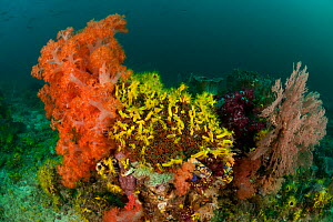 A carpet of Yellow sea cucumbers (Colochirus robustus) in the reef. North Raja Ampat, West Papua, Indonesia, February.  -  Jurgen Freund
