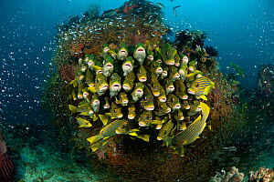 Schooling Yellow ribbon sweetlips (Plectorhinchus polytaenia) surrounded by glassy sweepers. North Raja Ampat, West Papua, Indonesia. - Jurgen Freund