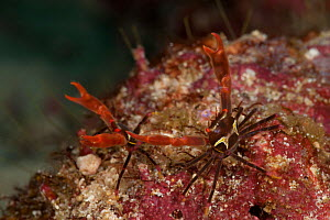 Coral reef with two tiny reef crabs. North Raja Ampat, West Papua, Indonesia - Jurgen Freund