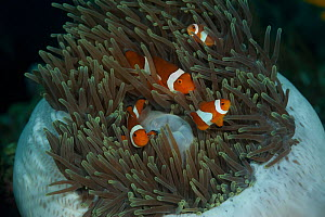 Four True clownfish / Clown anemonefish(Amphiprion percula) in their mostly-retracted anemone. North Raja Ampat, West Papua, Indonesia.  -  Jurgen Freund