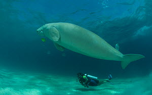 Diver watching a swimming Dugong (Dugong dugon). Dimakya Island, Palawan, Philippines, April 2010.  -  Jurgen Freund