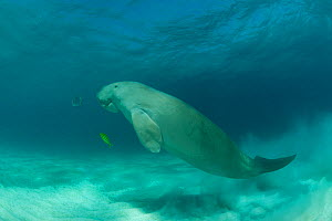 Dugong (Dugong dugon) in the seagrass bed shadowed by a trevally. Dimakya Island, Palawan, Philippines  -  Jurgen Freund
