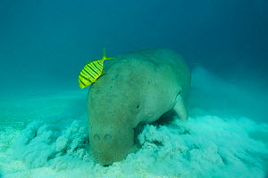Dugong (Dugong dugon) feeding in the seagrass bed shadowed by a trevally. Dimakya Island, Palawan, Philippines. - Jurgen Freund