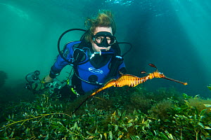 A diver watching a Weedy Seadragon (Phyllopteryx taeniolatus) as it swims over a seagrass meadow. Flinders Jetty, Mornington Peninsular, Victoria, Australia, March.  -  Alex Mustard