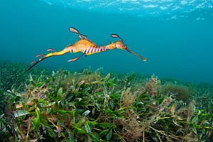 RF-  Juvenile Weedy Seadragon (Phyllopteryx taeniolatus) in  seagrass habitat. Flinders Jetty, Melbourne, Victoria, Australia, March. (This image may be licensed either as rights managed or royalty fr...  -  Alex Mustard