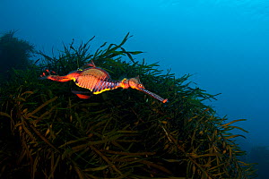 A colourful Weedy Seadragon (Phyllopteryx taeniolatus) swims in front on kelp. Weedy Seadragons vary greatly in colour across their range, this individual is typical of Tasmania. Waterfall Bay, Eagle...  -  Alex Mustard