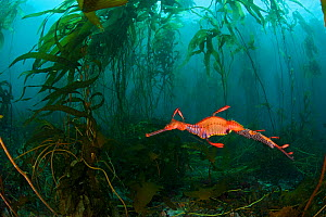A male Weedy Seadragon (Phyllopteryx taeniolatus) carrying eggs along tail swims through a Kelp (Macrocystis pyrifera) forest  in Tasmania, Australia. Tasmania is the only part of Australia with giant... - Alex Mustard