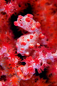 A Pygmy Seahorse (Hippocampus bargibanti) camouflaged in red Seafan (Muricella sp.). Pygmy Seahorses are small, most less than 15mm in length. Tulamben, Bali, Indonesia, October.  -  Alex Mustard