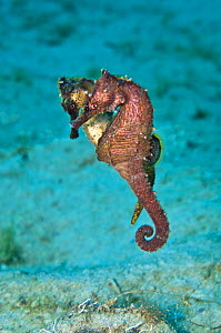 A pair of Lined / Northern Seahorses (Hippocampus erectus) mating. Female closer, male behind. West Palm Beach, Florida, USA, July. - Alex Mustard